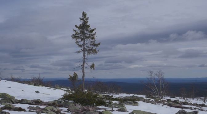 En dag med (ett av) världens äldsta träd