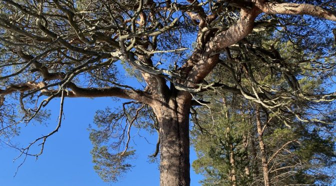Tarri pines in Hailuoto